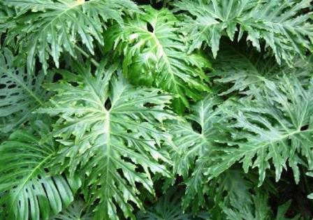 نبات الفيلودندرون – Philodendron