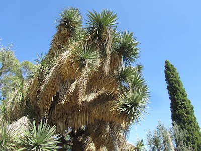 Yucca australis