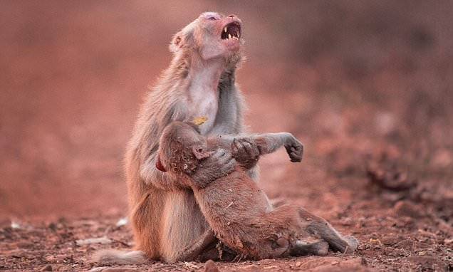 Devastated Monkey Holds Her Baby Tight After It Collapsed... What Happens Next Is Made Us Smile!