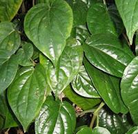 daun sirih bisa mengobati penyakit