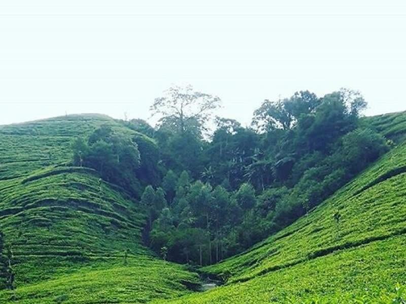 Kebun Teh Taraju Tempat Wisata di Tasikmalaya Terbaru