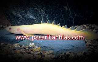 Ikan hias air tawar palmas