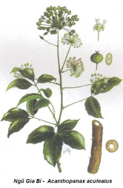 Ngũ Gia Bì Gai -  Acanthopanax aculeatus - Nguyên liệu làm thuốc Chữa Bệnh Tiêu Hóa