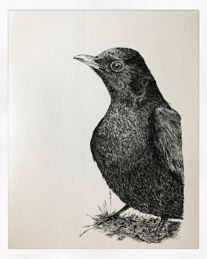 12-Common-Blackbird-Bas-Geeraets-Black-and-White-Drawings-of-Birds-www-designstack-co