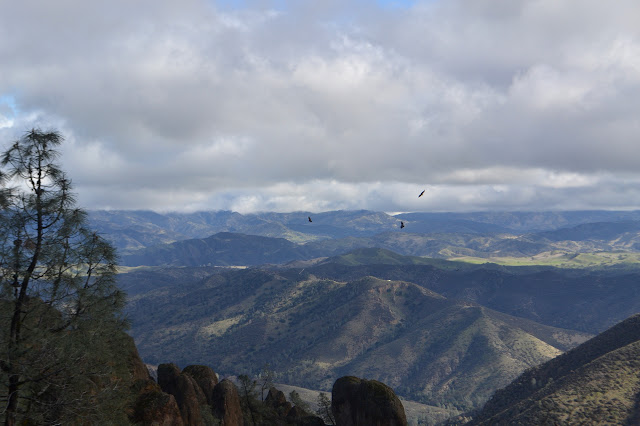 California condors on the thermals