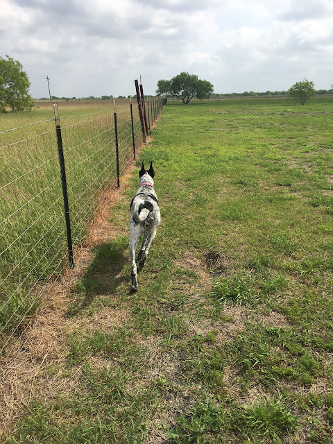 Fence Lines and Walking with Dixie