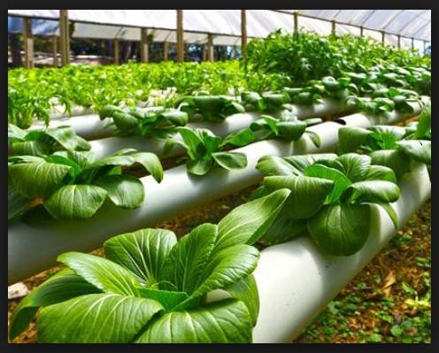 tanaman penghasil oksigen