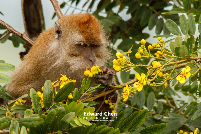 Long-tailed Macaque eating flower