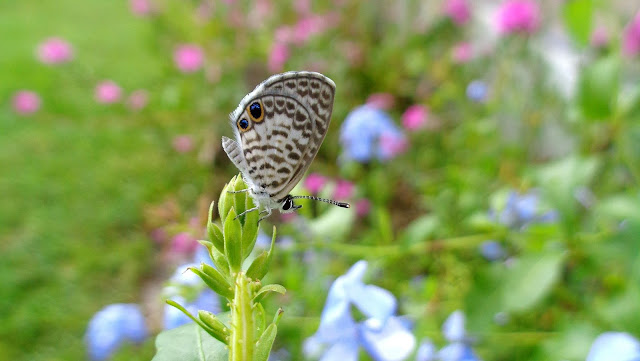 Cassius Blue Butterfly on Plumbago