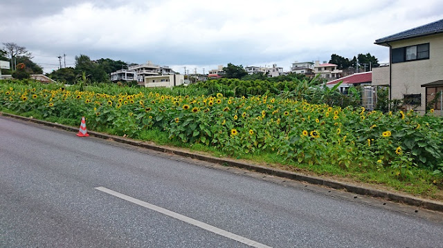 北中城村荻道のひまわり畑の写真