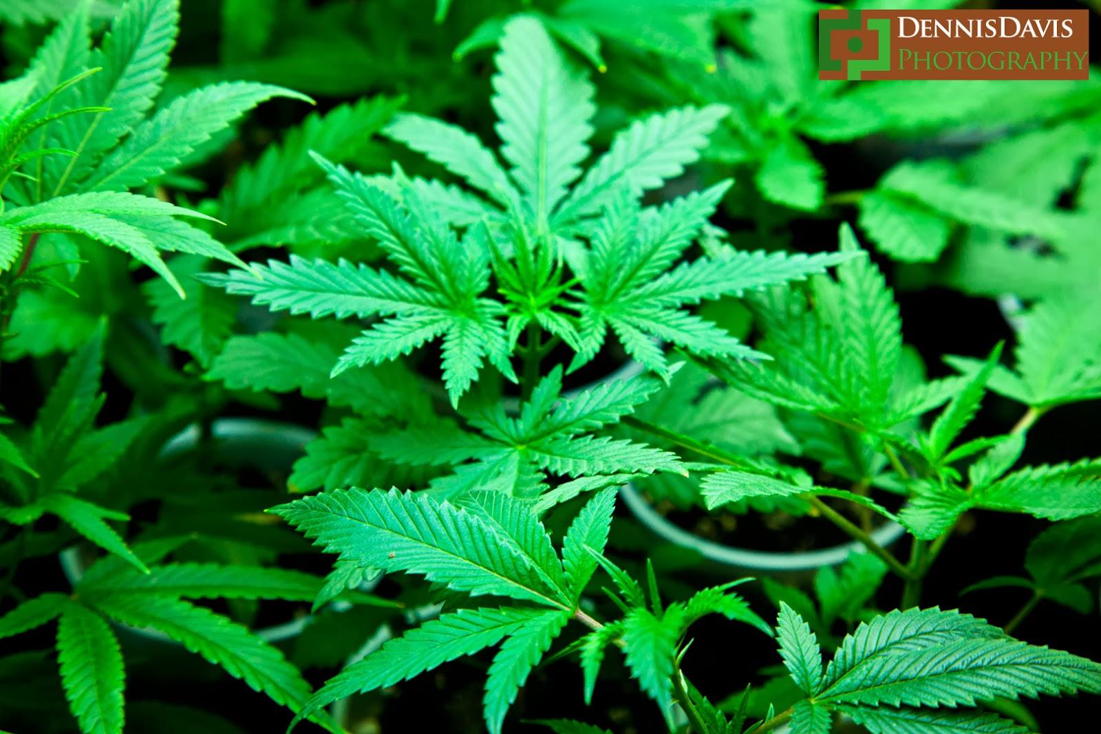 Medical Marijuana: Growing Cannabis