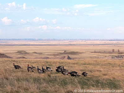 A flock of wild turkey are walking left in the grass, with the far prairies and washouts of Badlands National Park, South Dakota, in the background.