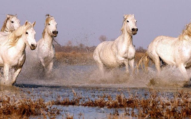 Hard rennende paarden door het water
