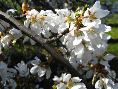 White American plum Prunus americana blossoms in detail at Mount Pleasant Cemetery by garden muses: a Toronto gardening blog