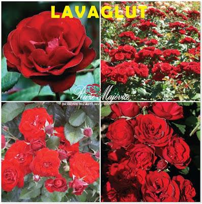 Crvena ruža, floribunda LAVAGLUT