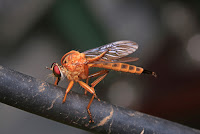 Orange Phorid aka Hump-backed fly on a grey tree branch