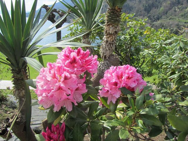 Rododendro sul Lago Maggiore