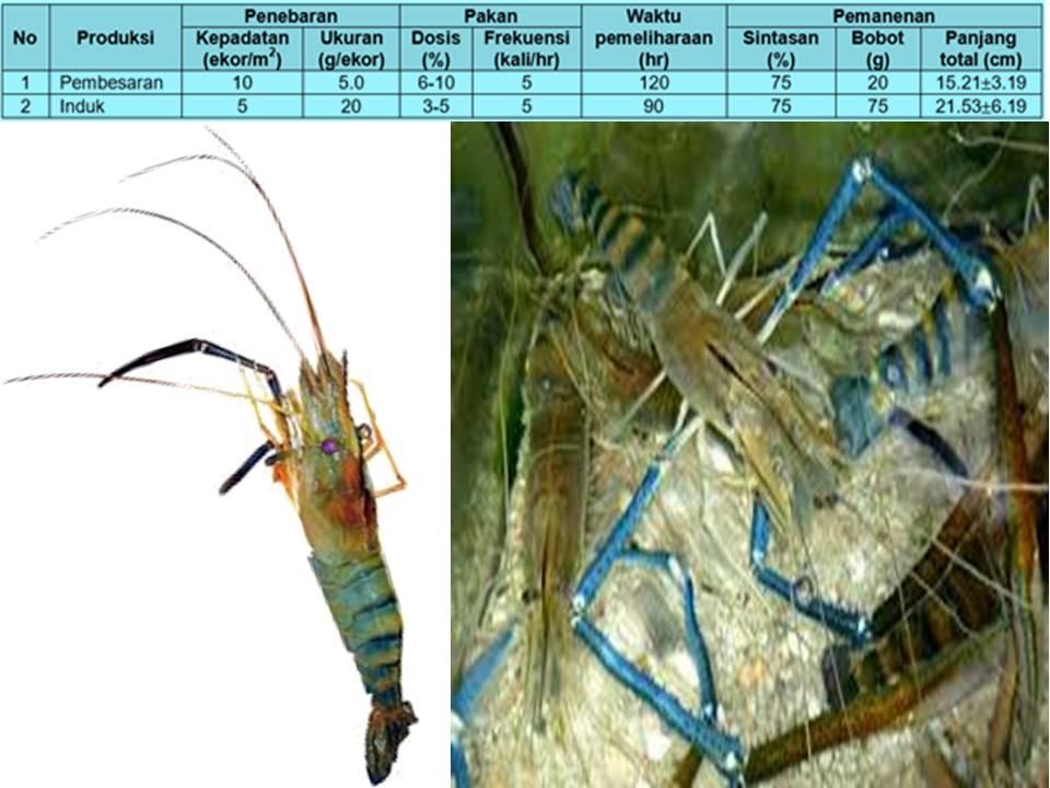 Komunitas Penyuluh Perikanan Produksi Induk Udang Galah Macrobrachium Rosenbergii De Man Kelas Induk Pokok Ringkasan Sni 01 6486 2 2002