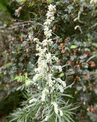 pujossa on pienet vaalea pallomaiset kukat, jotka kasvavat tertuissa ja tuottavat allergisoivaa siitepölyä