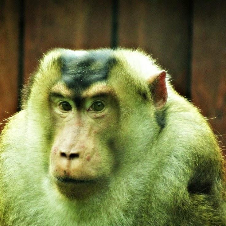 Macaco Nemestrina no Parque Cyro Gevaerd, em Balneário Camboriú