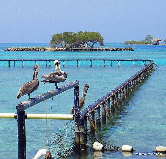 Pelicanos do Aquário San Martín, Ilhas do Rosário, Colômbia