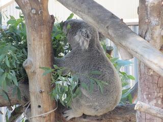 Baby koala in Singapore Zoo.