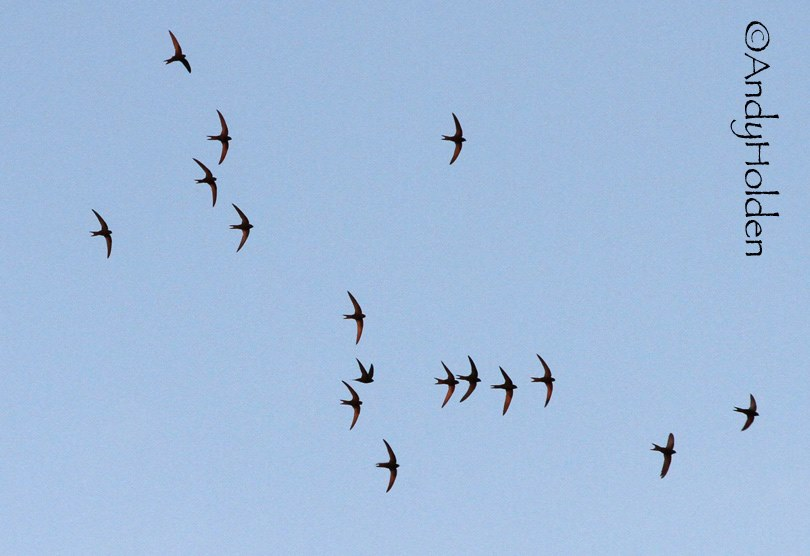Swifts over Gargrave