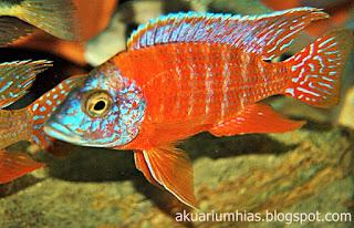 ikan hias red peacock cichlid