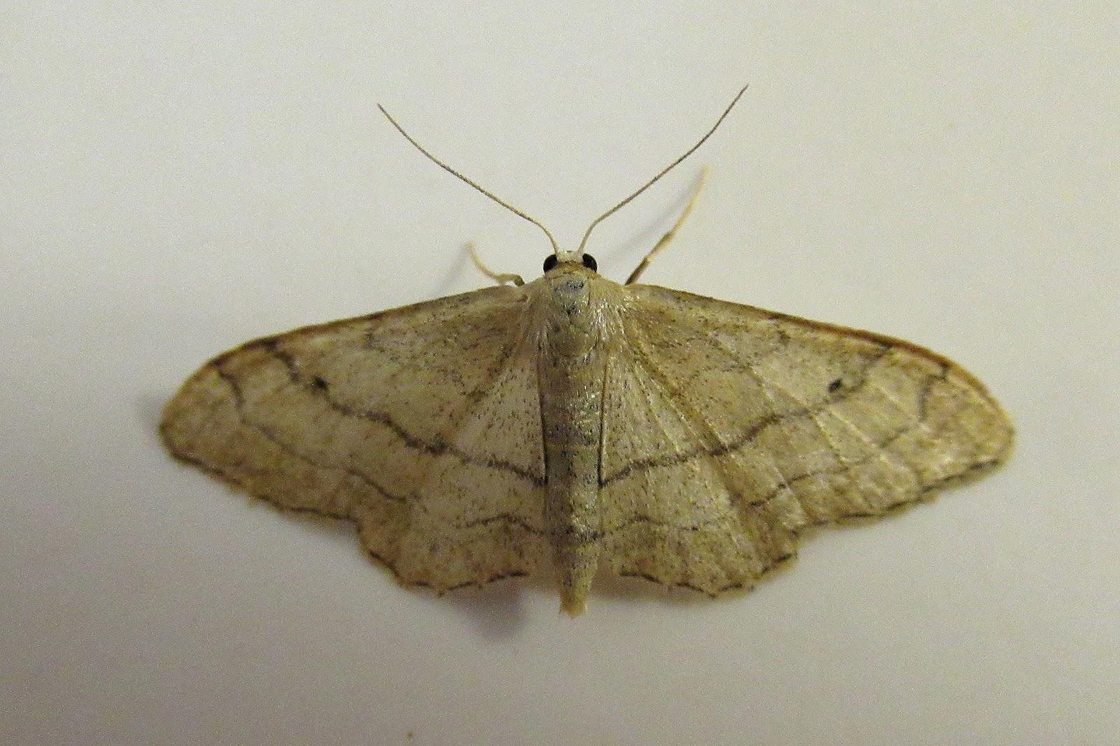 Abington Naturewatch More Bathroom Moths