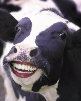 balotelli holly henderson: Funny Cow Face