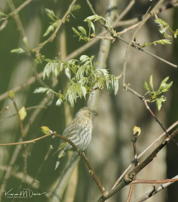 pine siskin on tree branch