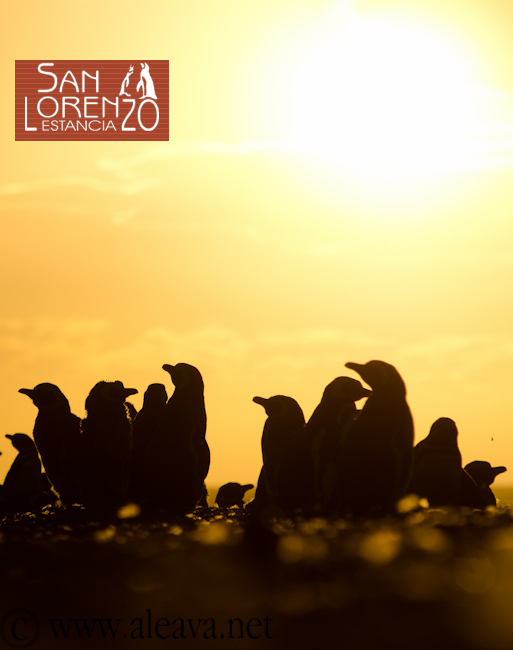 Pingúinos en Península Valdés y en Punta Tombo