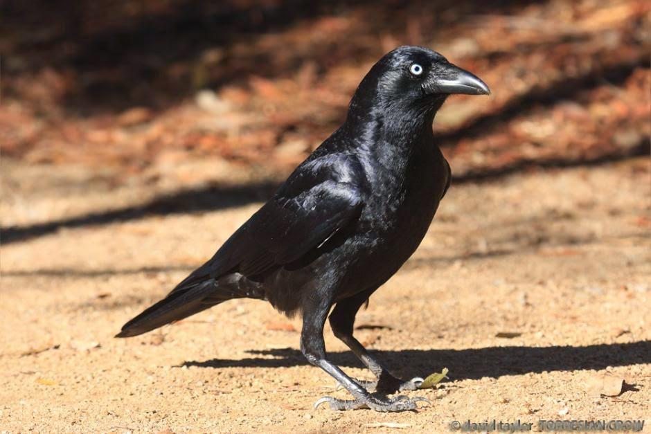 Cuervo de Torres, Corvus orru