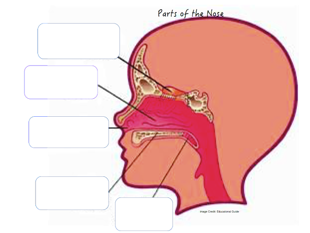Diagram Of The Nose And Its Functions Dual 2 Ohm Wiring 20 Throat Labeled Pictures Ideas On Meta Networks Parts