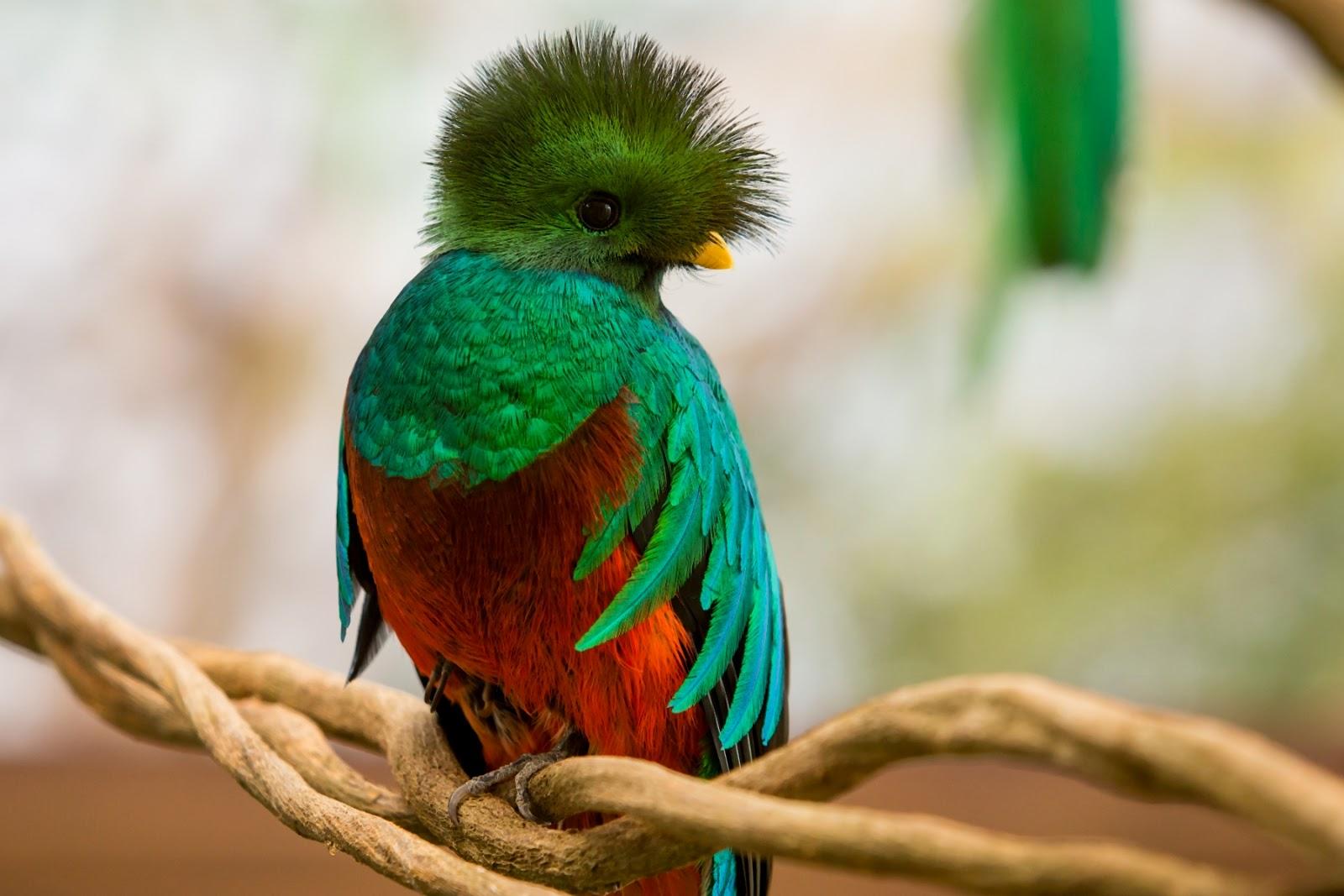 gambar burung Quetzal nama hewan dari huruf Q