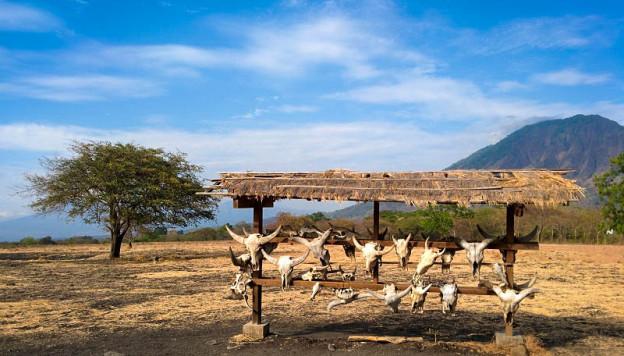Tengkorak kepala Banteng Taman Nasional Baluran Situbondo
