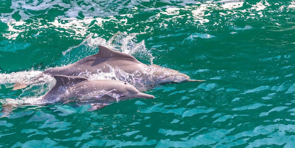 Musandam Dolphins, Oman