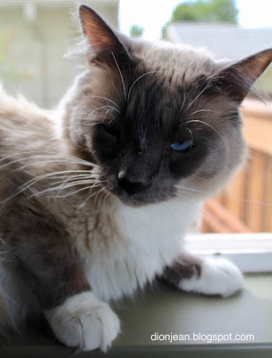 Fergus the Siamese cat is angry