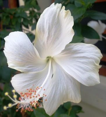 Inspirasi Paling Baru 46 Gambar Bunga Kembang Sepatu Adalah