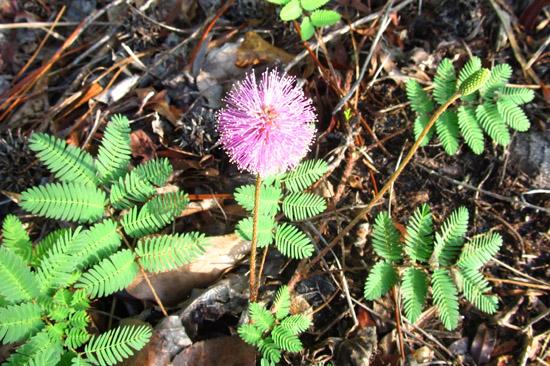 Garden Design Round Table: Sunshine Mimosa, a Lawn