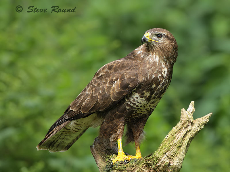 buzzard, common buzzard, bird, nature, wildlife