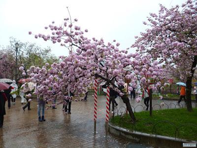 火の鳥の桜