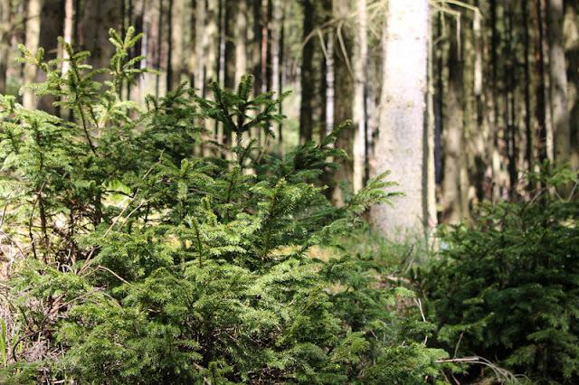 Kleine Bäumchen am Waldrand