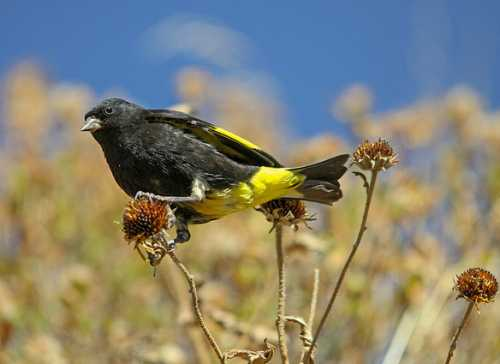 South American birds - Image of Black siskin - Spinus atratus