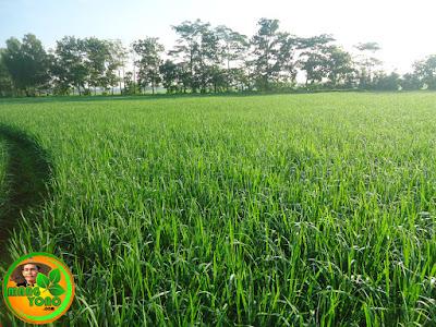 Tanaman padi usia 6 minggu