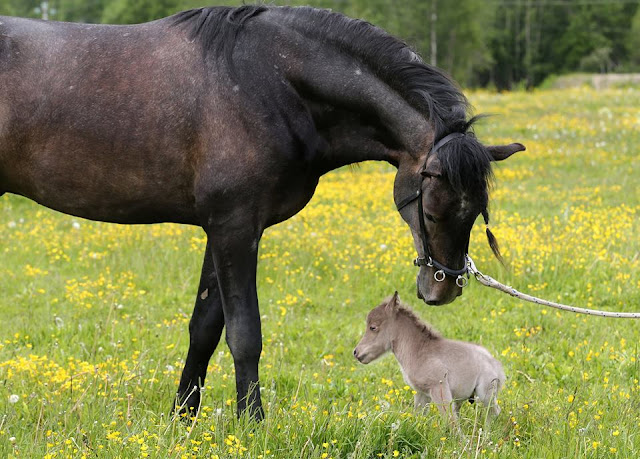 Meet the smallest horse in the world - entertainment news