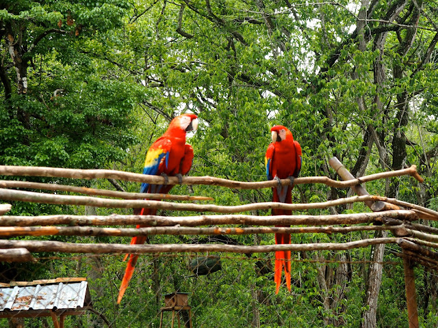 Scarlet macaws in the jungle forest outside Copan, Honduras