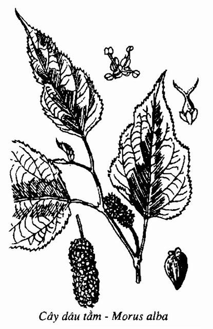 Hình vẽ CÂY DÂU - Morus alba - Nguyên liệu làm thuốc Chữa Ho Hen
