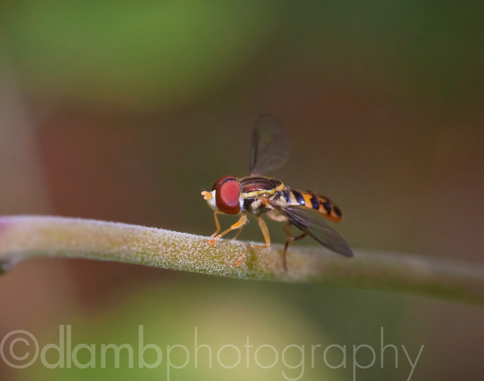 http://david-lamb.artistwebsites.com/featured/hoverfly-warming-in-the-sunlight-david-lamb.html