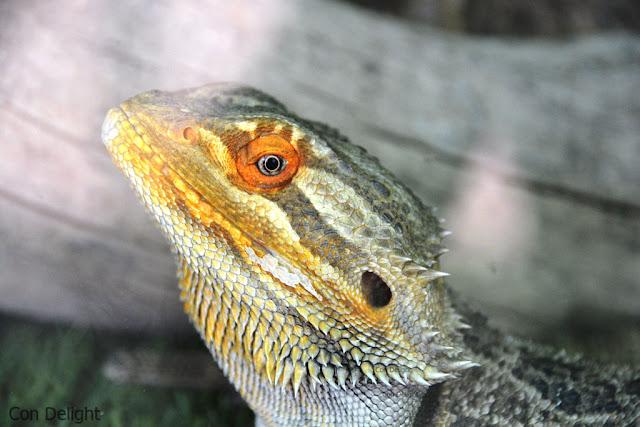 Lizard hamat gader לטאה חמת גדר